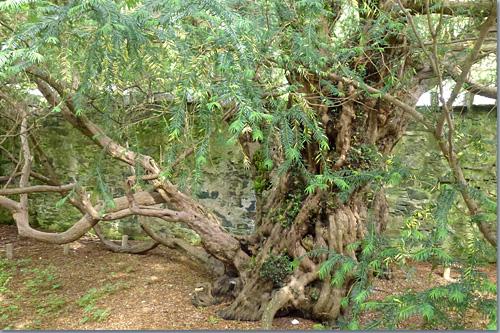 Fortingall Yew und Druidensteine