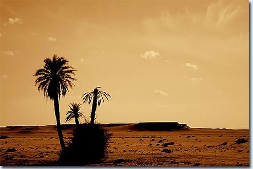 Palme in der Sahara