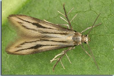 Schreckensteiniidae