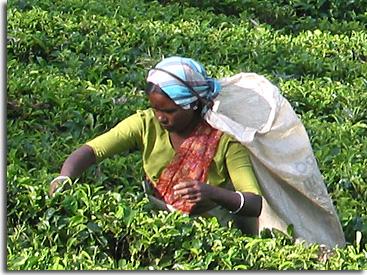 Teepflückerin auf Sri Lanka