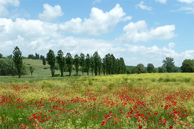 Mohnblumen in der Toskana